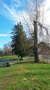 The City of Courtenay is in the process of updating the Tree Management and Protection Bylaw. This is a Municipality's strongest legislative tool for protecting the Urban Forest on private land.